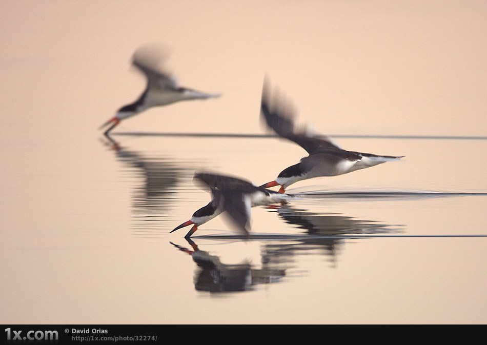 Three Black Skimmers