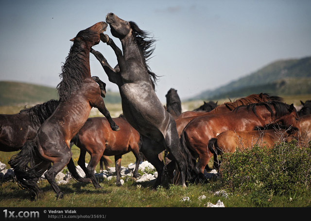 wild horses