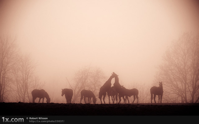 Foggy Horses